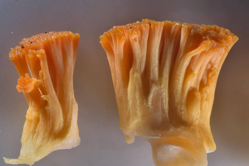"Fragments of yellow coral mushroom <B>Ramaria flava</B> (Russian name Rogatik) near Orekhovo, 40 miles north from Saint Petersburg. Russia, <A HREF=""../date-en/2016-07-16.htm"">July 16, 2016</A>"