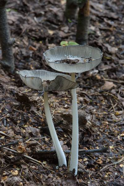 "Gray shag ink cap mushrooms <B>Coprinopsis cinerea</B> (Coprinus cinereus) on mulch in Sosnovka Park. Saint Petersburg, Russia, <A HREF=""../date-en/2016-07-20.htm"">July 20, 2016</A>"
