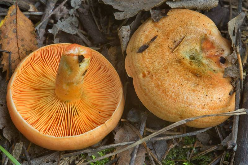 False saffron milkcap mushrooms (Lactarius deterrimus, Russian name Ryshik) on roadside near Kavgolovskoe Lake in Toksovo, north from Saint Petersburg. Russia, July 24, 2016