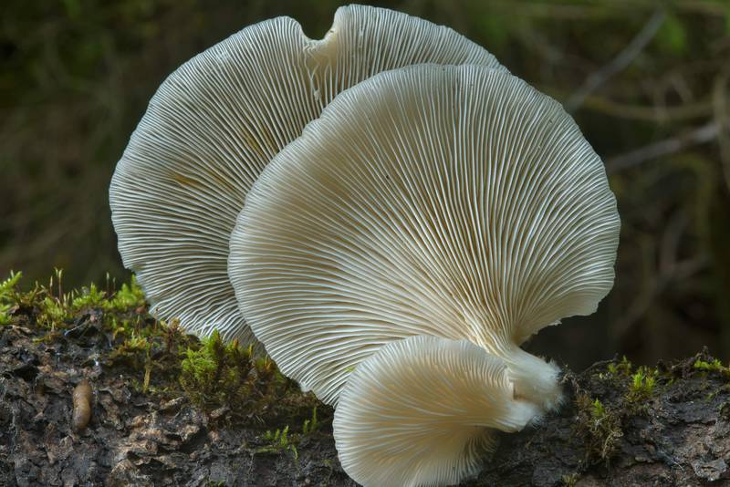 Gills of oyster mushrooms (Pleurotus pulmonarius, Russian name Veshenka) near Kavgolovskoe Lake in Toksovo, north from Saint Petersburg. Russia, July 24, 2016