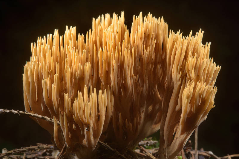 Close up of coral mushroom (Ramaria eumorpha, Ramaria invalii, Russian name Rogatik) in area of Old Sylvia in Pavlovsk Park. Pavlovsk near Saint Petersburg, Russia, July 28, 2016