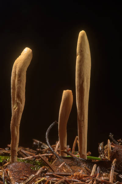 "Club-shaped fruit bodies of strap coral mushrooms (<B>Clavariadelphus ligula</B>) near Kavgolovskoe Lake in Toksovo, north from Saint Petersburg. Russia, <A HREF=""../date-ru/2016-08-02.htm"">August 2, 2016</A>"