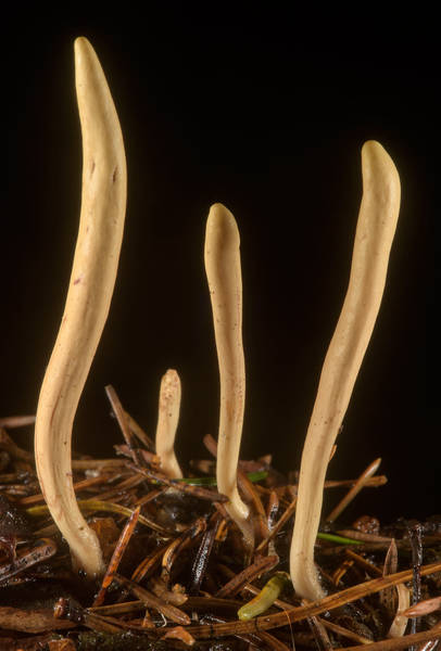 "Group of club-shaped fruit bodies of strap coral mushrooms (<B>Clavariadelphus ligula</B>) near Kavgolovskoe Lake in Toksovo, north from Saint Petersburg. Russia, <A HREF=""../date-ru/2016-08-02.htm"">August 2, 2016</A>"