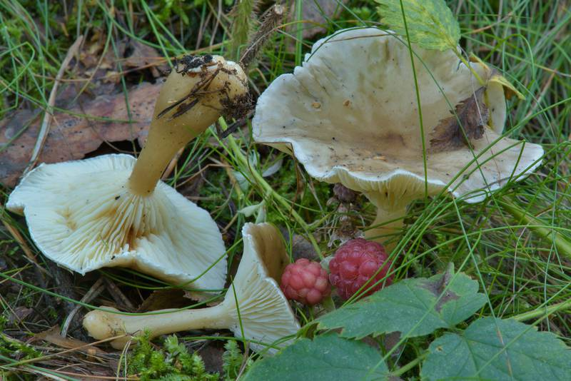 "Club-footed clitocybe mushrooms (<B>Ampulloclitocybe clavipes</B>) in Sosnovka Park. Saint Petersburg, Russia, <A HREF=""../date-ru/2016-08-04.htm"">August 4, 2016</A>"