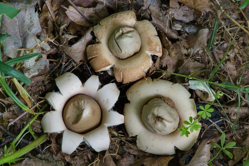 Fruit bodies of fringed earthstar mushrooms (Geastrum fimbriatum) near Gulf of Finland between Morskaya and Lisiy Nos, 5 miles west from Saint Petersburg. Russia, August 5, 2016