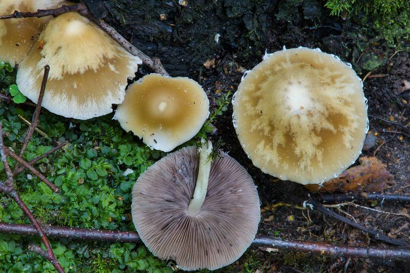 "Pale brittlestem mushrooms (<B>Psathyrella candolleana</B>) in Lisiy Nos, 5 miles west from Saint Petersburg. Russia, <A HREF=""../date-ru/2016-08-05.htm"">August 5, 2016</A>"