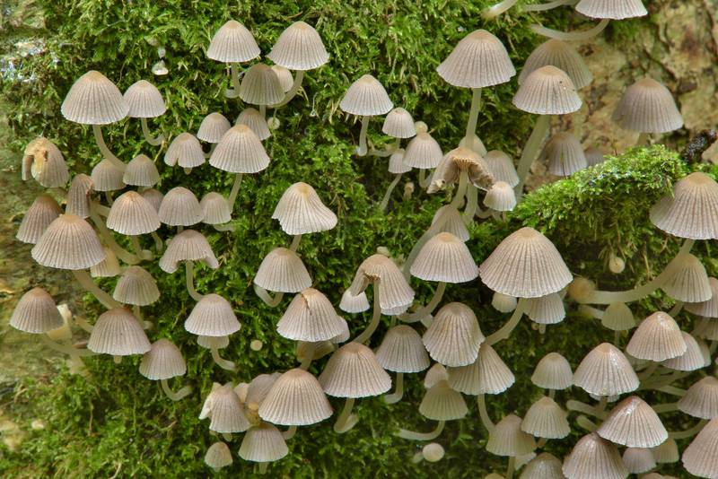 "Fairy inkcap mushrooms (<B>Coprinellus disseminatus</B>, Coprinus disseminatus) in Lisiy Nos, 5 miles west from Saint Petersburg. Russia, <A HREF=""../date-en/2016-08-05.htm"">August 5, 2016</A>"