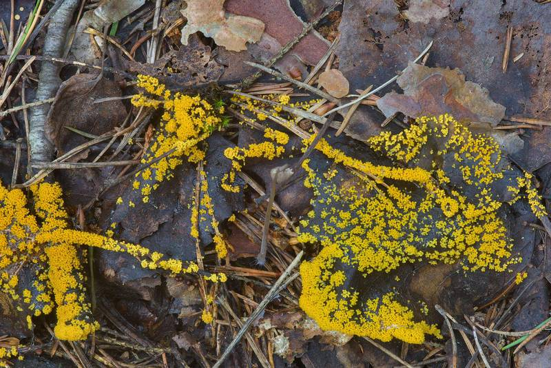 Slime mold Physarum virescens on rotten leaves in Dibuny, north-west from Saint Petersburg, Russia Leningrad Region, Russia, August 9, 2016