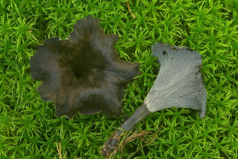 Black trumpet mushrooms (Craterellus cornucopioides) in Dibuny, north-west from Saint Petersburg, Russia, August 9, 2016