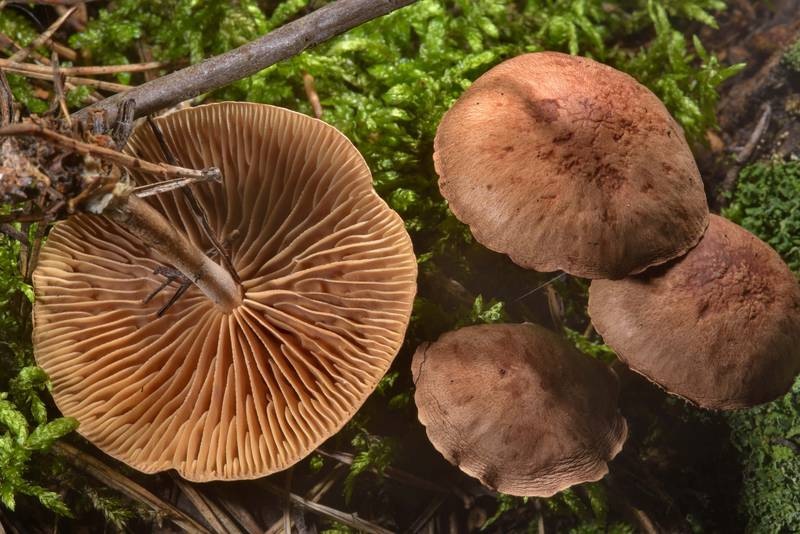 "Wood woollyfoot mushrooms (<B>Gymnopus peronatus</B>, Collybia peronata) in Sosnovka Park. Saint Petersburg, Russia, <A HREF=""../date-ru/2016-08-12.htm"">August 12, 2016</A>"