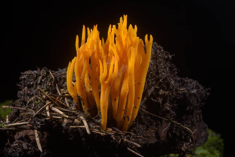 Yellow stagshorn mushroom (Calocera viscosa) near Lembolovo, north from Saint Petersburg, Russia, August 13, 2016