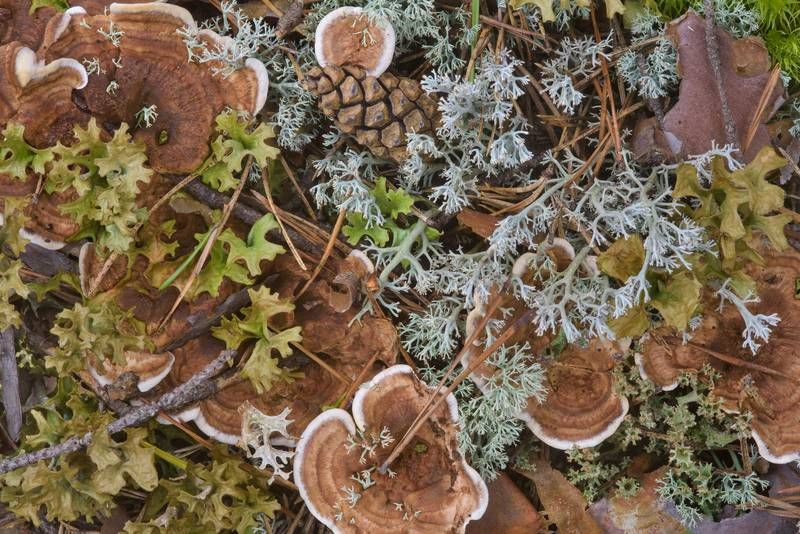 Zoned cork hydnum mushrooms (Phellodon tomentosus) among lichens near Orekhovo, north from Saint Petersburg. Russia, August 13, 2016