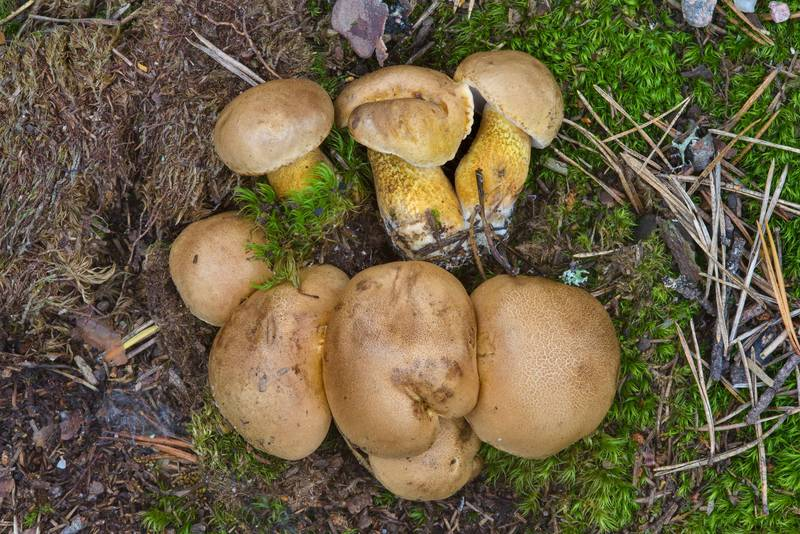 "Young bitter bolete mushrooms (<B>Tylopilus felleus</B>) near Orekhovo, north from Saint Petersburg. Russia, <A HREF=""../date-ru/2016-08-13.htm"">August 13, 2016</A>"