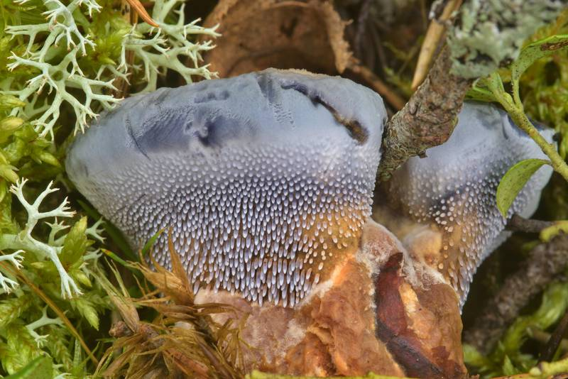 Side view of blue tooth mushroom (Hydnellum caeruleum, Bankeraceae) near Orekhovo, north from Saint Petersburg. Russia, August 13, 2016