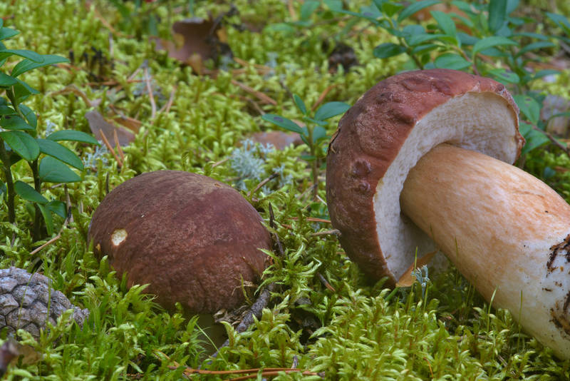 Pinewood king bolete mushrooms (Boletus pinophilus) near Orekhovo, north from Saint Petersburg. Russia, August 13, 2016