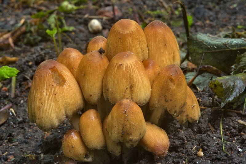 "Glistening inky cap mushrooms (<B>Coprinellus micaceus</B>) in Botanic Gardens of Komarov Botanical Institute. Saint Petersburg, Russia, <A HREF=""../date-en/2016-08-14.htm"">August 14, 2016</A>"