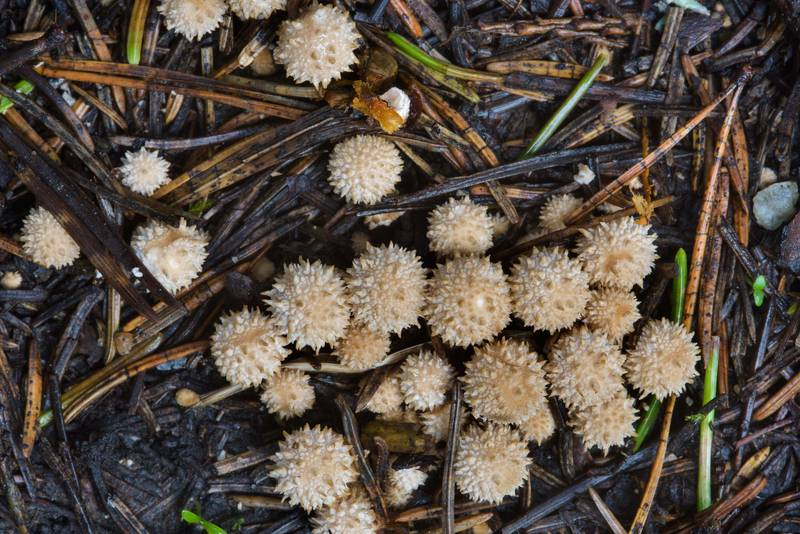 "Tiny young common puffball mushrooms (<B>Lycoperdon perlatum</B>) near Kavgolovskoe Lake in Toksovo, north from Saint Petersburg. Russia, <A HREF=""../date-ru/2016-08-15.htm"">August 15, 2016</A>"
