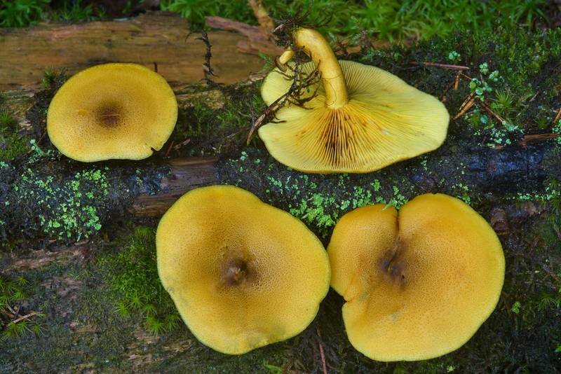 "Prunes and Custard mushrooms (<B>Tricholomopsis decora</B>) near Kavgolovskoe Lake in Toksovo, north from Saint Petersburg. Russia, <A HREF=""../date-ru/2016-08-15.htm"">August 15, 2016</A>"