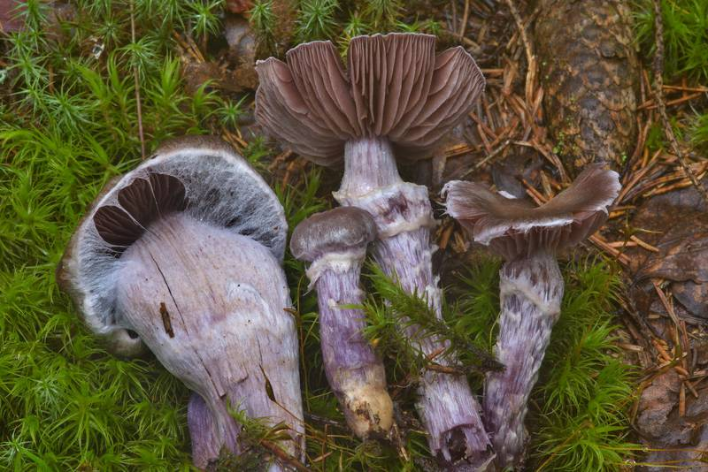 "Silky webcap mushrooms (<B>Cortinarius evernius</B>) near Kavgolovskoe Lake in Toksovo, north from Saint Petersburg. Russia, <A HREF=""../date-ru/2016-08-15.htm"">August 15, 2016</A>"