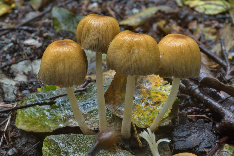 Mica Cap mushrooms (Coprinellus micaceus) near Lisiy Nos, west from Saint Petersburg, Russia, August 23, 2016