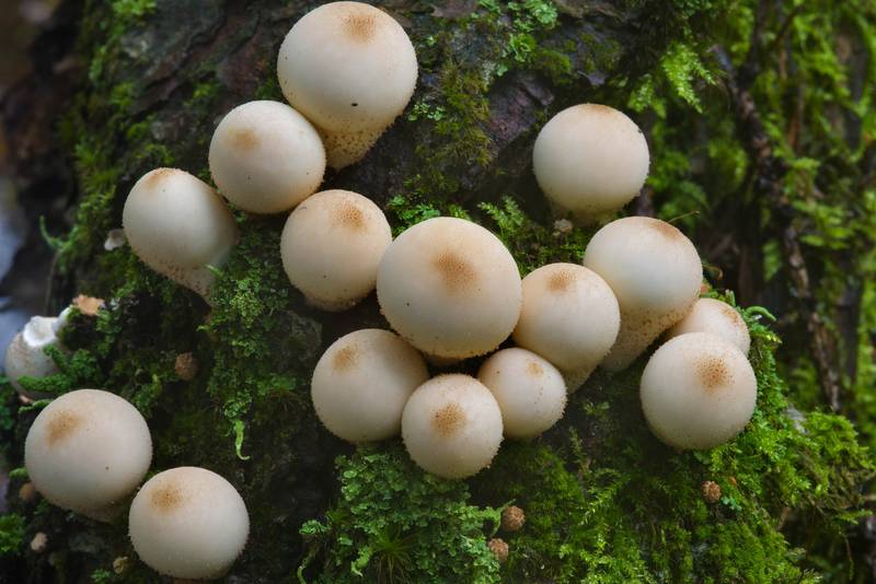 Pear-shaped puffball mushrooms (Lycoperdon pyriforme) near Dibuny, north-west from Saint Petersburg, Russia, August 24, 2016