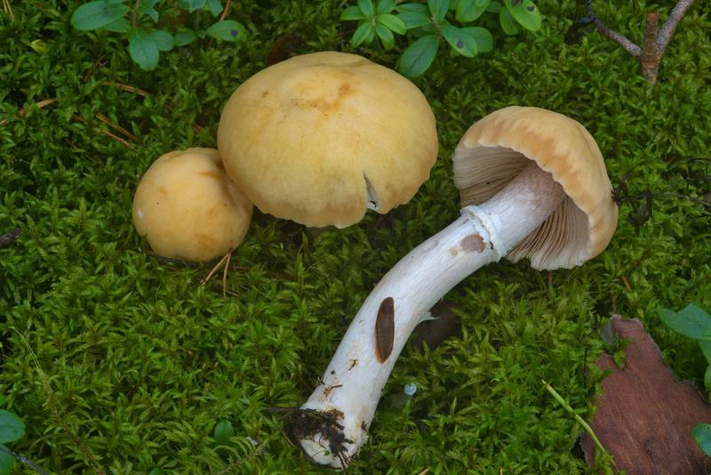 "Gypsy mushrooms (<B>Cortinarius caperatus</B>, Russian name Kolpak Kolchaty) near Dibuny, north-west from Saint Petersburg, Russia, <A HREF=""../date-en/2016-08-24.htm"">August 24, 2016</A>"