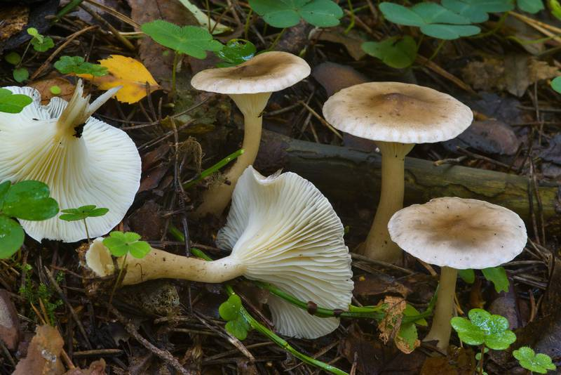 "Club-footed clitocybe mushrooms (<B>Ampulloclitocybe clavipes</B>) in Sosnovka Park. Saint Petersburg, Russia, <A HREF=""../date-ru/2016-08-25.htm"">August 25, 2016</A>"