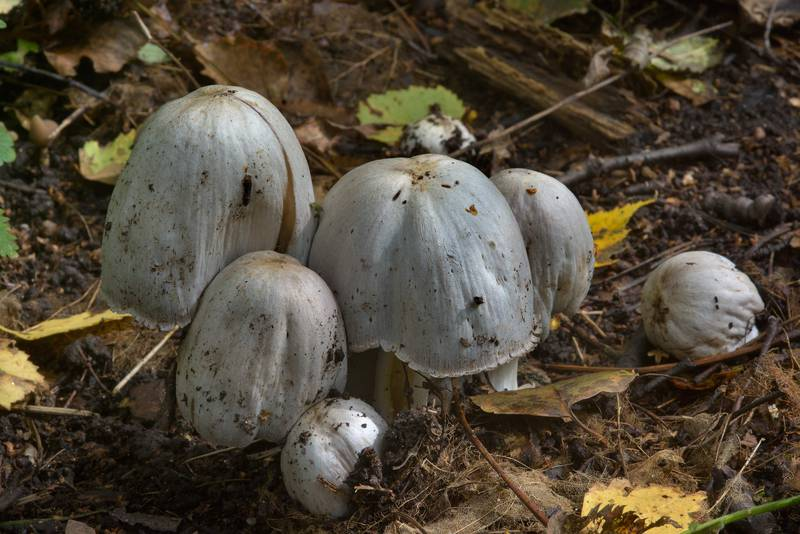 "Common inkcap (inky cap) mushrooms <B>Coprinopsis atramentaria</B> in Sosnovka Park. Saint Petersburg, Russia, <A HREF=""../date-ru/2016-08-25.htm"">August 25, 2016</A>"