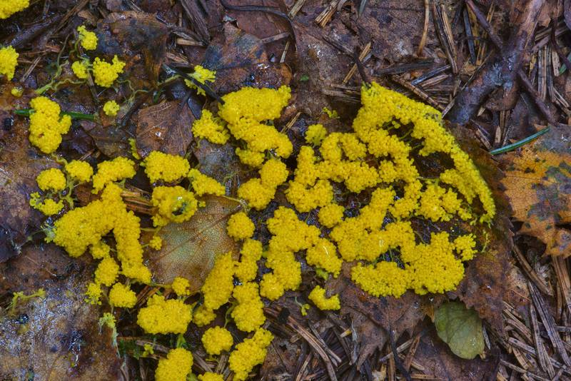 Slime mold Physarum virescens on the ground. Oselki, south from Saint Petersburg, Russia, August 29, 2016
