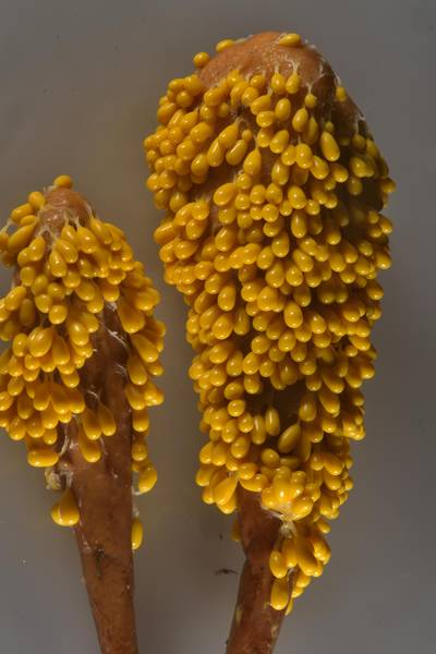 "Insect egg slime mold (Leocarpus fragilis) growing on strap coral mushrooms (<B>Clavariadelphus ligula</B>) in Lembolovo, 35 miles north from Saint Petersburg. Russia, <A HREF=""../date-ru/2016-08-31.htm"">August 31, 2016</A>"