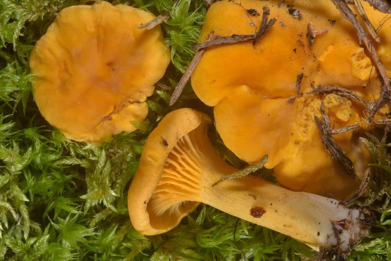 "Chanterelle mushrooms (<B>Cantharellus cibarius</B>, Russian name Lisichki) in moss in Lembolovo, 35 miles north from Saint Petersburg. Russia, <A HREF=""../date-ru/2016-08-31.htm"">August 31, 2016</A>"