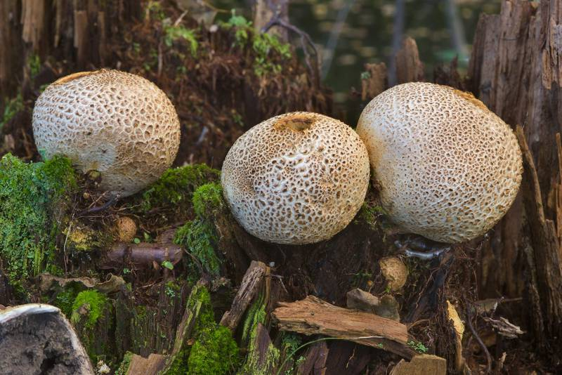 Earthball mushrooms (Scleroderma citrinum) near Lisiy Nos, south from Saint Petersburg. Russia, September 3, 2016