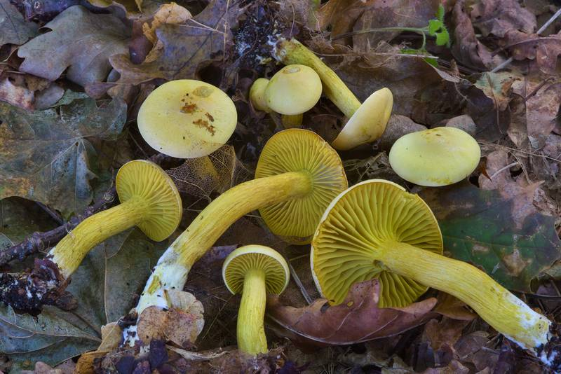 "Sulphur knight mushrooms (<B>Tricholoma sulphureum</B>) between Morskaya and Lisiy Nos, south from Saint Petersburg. Russia, <A HREF=""../date-ru/2016-09-03.htm"">September 3, 2016</A>"