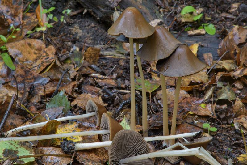 Conical brittlestem mushrooms Parasola conopilus (Psathyrella conopilus) on mulch in Sosnovka Park. Saint Petersburg, Russia, September 4, 2016