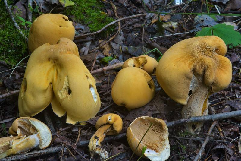 "Golden bootleg mushrooms (<B>Phaeolepiota aurea</B>) near Dibuny, west from Saint Petersburg. Russia, <A HREF=""../date-ru/2016-09-07.htm"">September 7, 2016</A>"