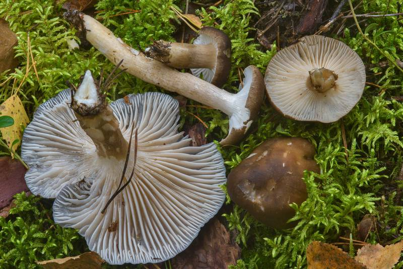 "Dusky wax cap mushrooms, <B>Hygrophorus camarophyllus</B>, near Dibuny, west from Saint Petersburg. Russia, <A HREF=""../date-ru/2016-09-07.htm"">September 7, 2016</A>"