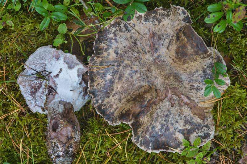 "Old <B>Boletopsis grisea</B> mushrooms near Dibuny, west from Saint Petersburg. Russia, <A HREF=""../date-ru/2016-09-07.htm"">September 7, 2016</A>"
