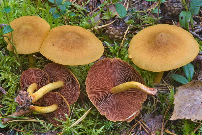 "Surprise webcap mushrooms (<B>Cortinarius semisanguineus</B>) near Orekhovo, 40 miles north from Saint Petersburg. Russia, <A HREF=""../date-en/2016-09-09.htm"">September 9, 2016</A>"