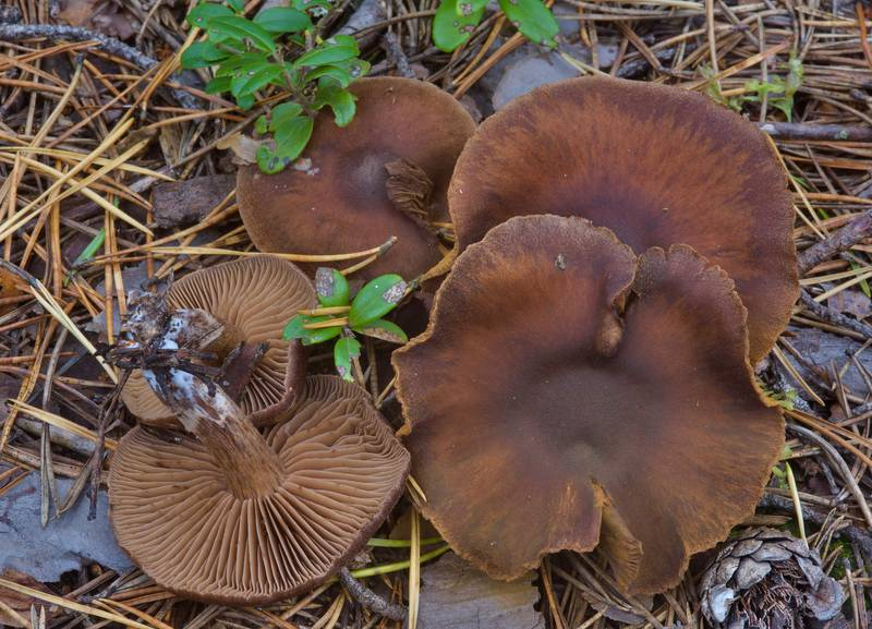 "Brown webcap mushrooms (<B>Cortinarius depressus</B>)(?) near Orekhovo, 40 miles north from Saint Petersburg. Russia, <A HREF=""../date-en/2016-09-09.htm"">September 9, 2016</A>"