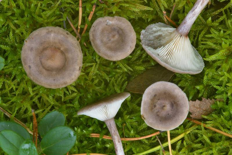 "Grayling mushrooms (<B>Cantharellula umbonata</B>) near Orekhovo, 40 miles north from Saint Petersburg. Russia, <A HREF=""../date-ru/2016-09-09.htm"">September 9, 2016</A>"