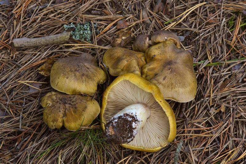 "Knight mushrooms (<B>Tricholoma arvernense</B>) near Orekhovo, 40 miles north from Saint Petersburg. Russia, <A HREF=""../date-en/2016-09-09.htm"">September 9, 2016</A>"