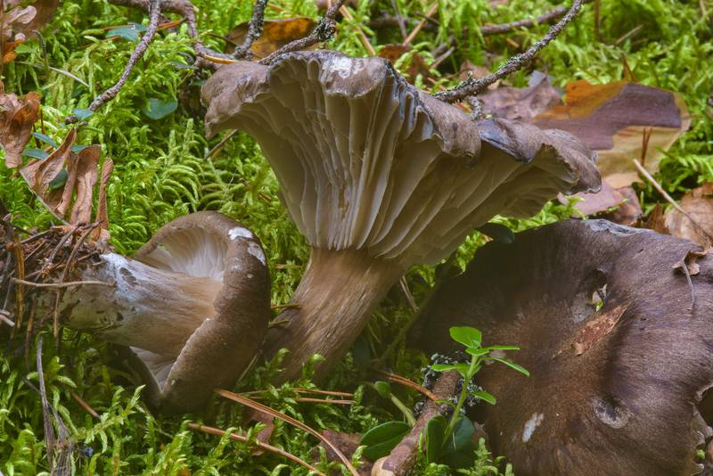 "Mature Dusky wax cap mushrooms (<B>Hygrophorus camarophyllus</B>) near Orekhovo, 40 miles north from Saint Petersburg. Russia, <A HREF=""../date-ru/2016-09-09.htm"">September 9, 2016</A>"