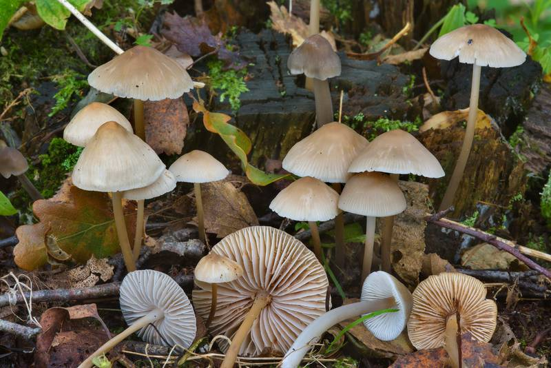 "Common bonnet mushrooms (<B>Mycena galericulata</B>)(?) near Lisiy Nos, west from Saint Petersburg. Russia, <A HREF=""../date-en/2016-09-12.htm"">September 12, 2016</A>"