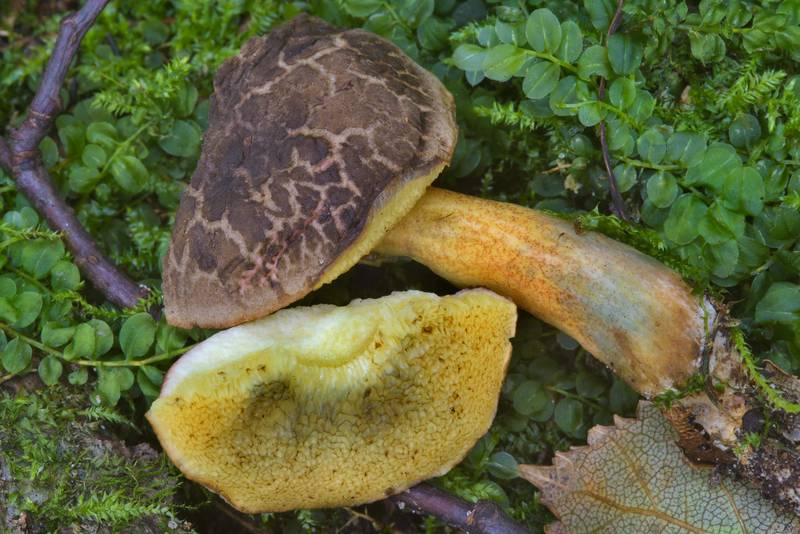 Sepia bolete mushroom Xerocomellus porosporus (Boletus porosporus)(?) in Lisiy Nos, west from Saint Petersburg. Russia, September 12, 2016
