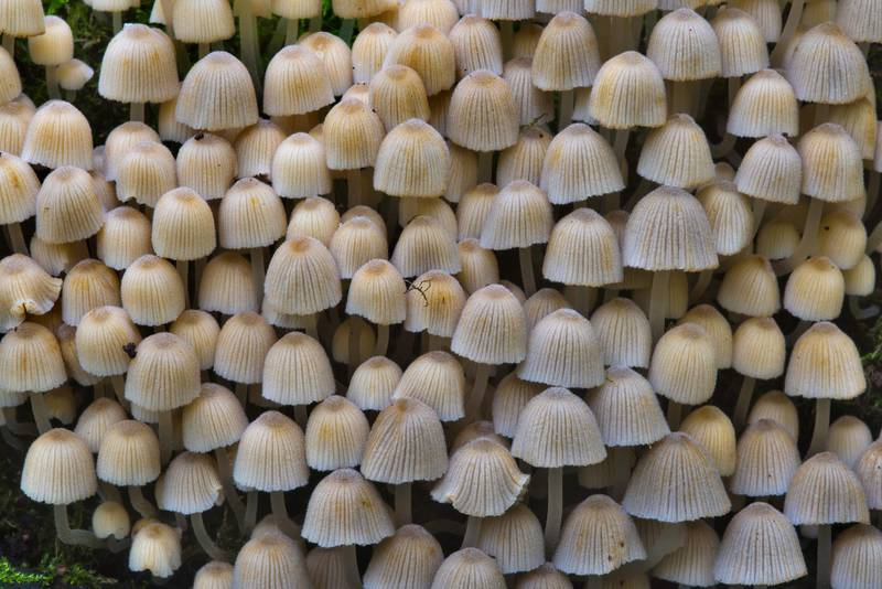 "Dense colony of fairy inkcap mushrooms (<B>Coprinellus disseminatus</B>, Coprinus disseminatus) at a base of a tree in Lisiy Nos, west from Saint Petersburg. Russia, <A HREF=""../date-ru/2016-09-12.htm"">September 12, 2016</A>"