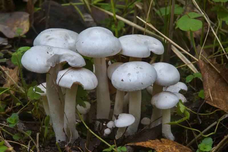 "Young white domecap mushrooms (<B>Leucocybe connata</B>, Lyophyllum connatum) near Kavgolovskoe Lake. North from Saint Petersburg, Russia, <A HREF=""../date-en/2016-09-21.htm"">September 21, 2016</A>"