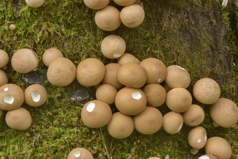 Pear-shaped puffball mushrooms (Lycoperdon pyriforme) near Kavgolovskoe Lake. North from Saint Petersburg, Russia, September 21, 2016