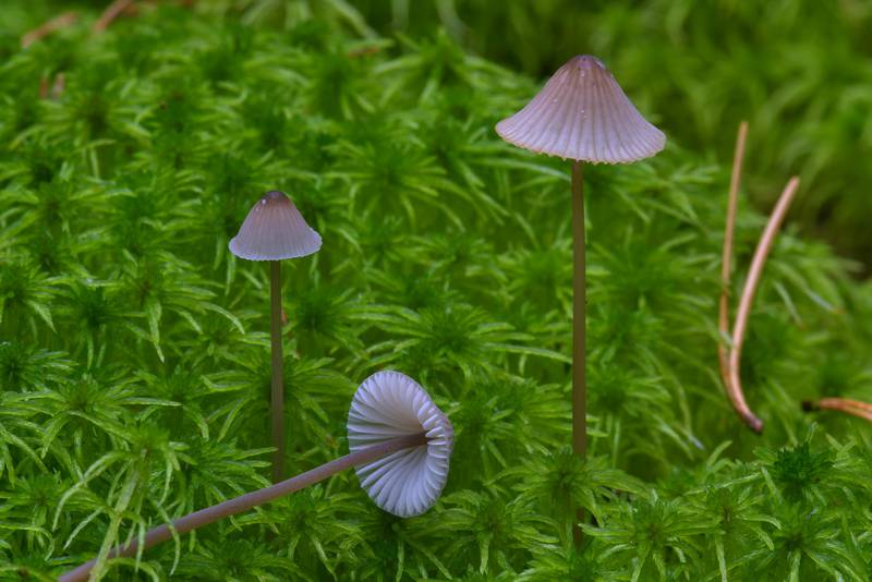 "Milking bonnet mushrooms (<B>Mycena galopus</B>)(?) near Kavgolovskoe Lake. North from Saint Petersburg, Russia, <A HREF=""../date-ru/2016-09-21.htm"">September 21, 2016</A>"