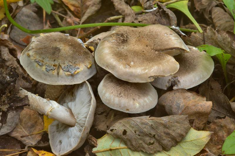 "Group of girdled knight mushrooms (<B>Tricholoma cingulatum</B>) near Kavgolovskoe Lake. North from Saint Petersburg, Russia, <A HREF=""../date-en/2016-09-21.htm"">September 21, 2016</A>"