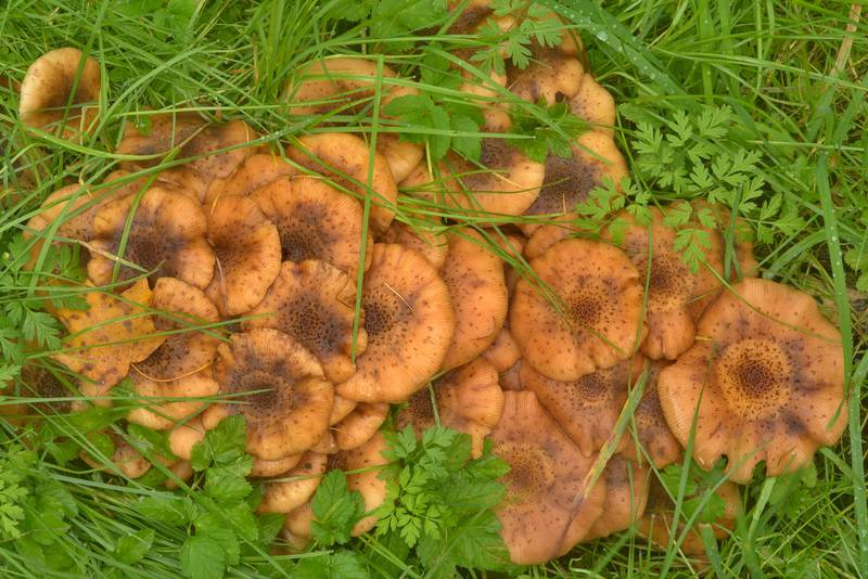 "Honey mushrooms <B>Armillaria borealis</B>(?) in Botanic Gardens of Komarov Botanical Institute. Saint Petersburg, Russia, <A HREF=""../date-en/2016-09-24.htm"">September 24, 2016</A>"